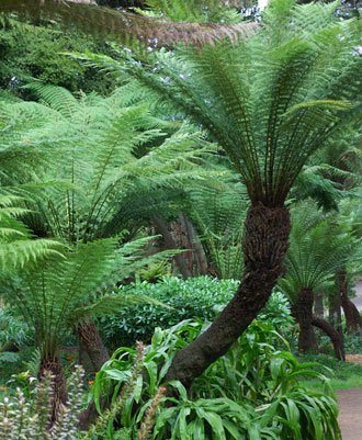 dicksonia antarctica 6ft trunk evergreens turn it tropical. Black Bedroom Furniture Sets. Home Design Ideas