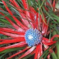 Fascicularia bicolor canaliculata