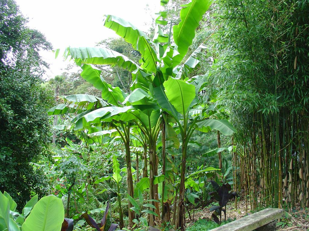 musa basjoo 9cm evergreens turn it tropical. Black Bedroom Furniture Sets. Home Design Ideas