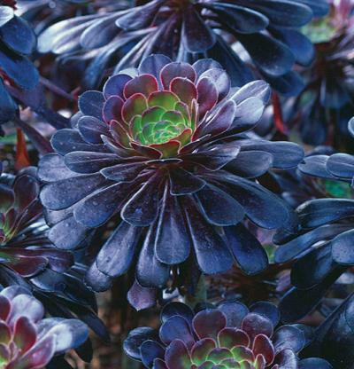 Aeonium zwartkop