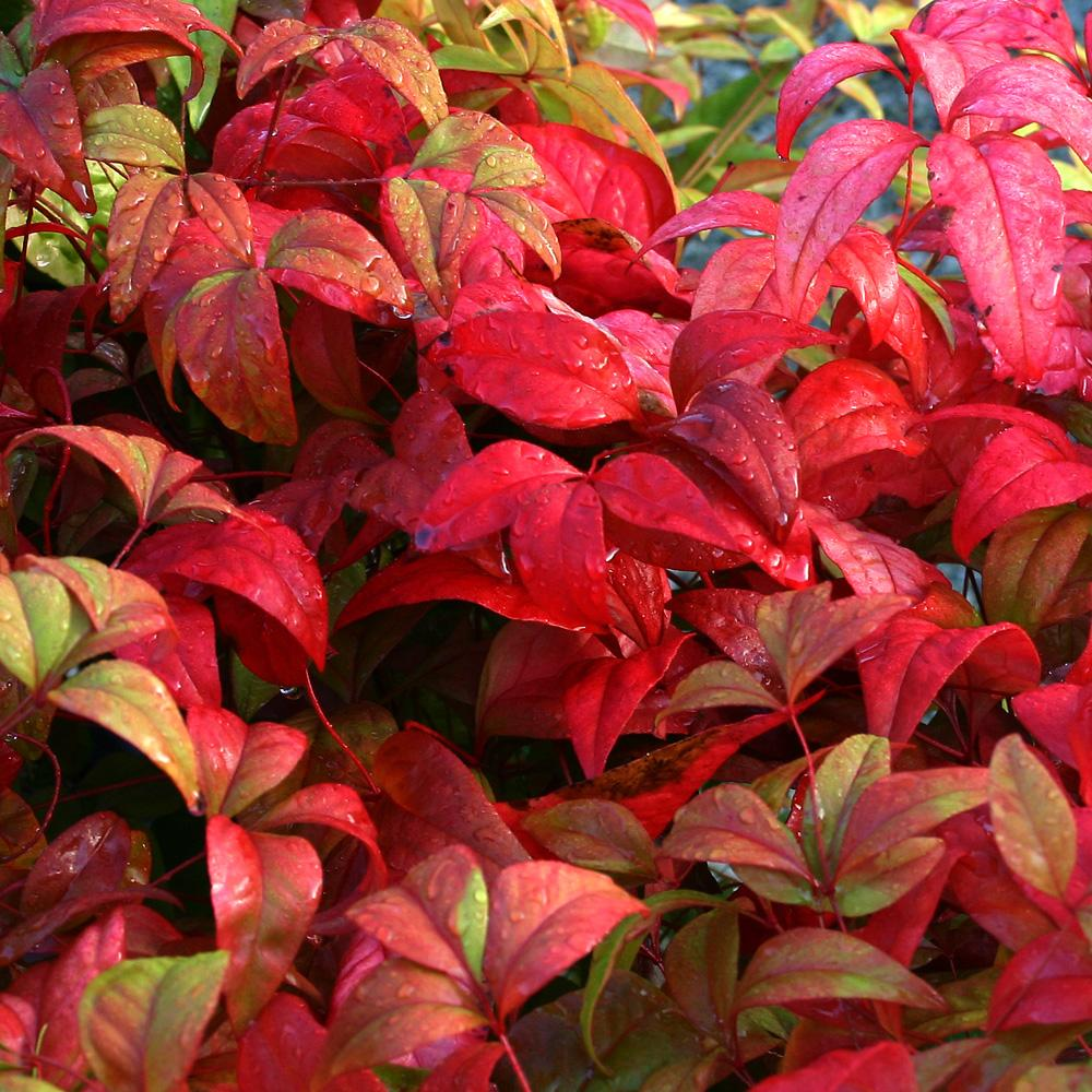 NANDINA domestica 'Firepower' 3L – Evergreens – Turn It ... Nandina Domestica Firepower