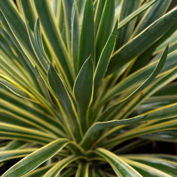 yucca gloriosa variegata 1l evergreens turn it tropical. Black Bedroom Furniture Sets. Home Design Ideas