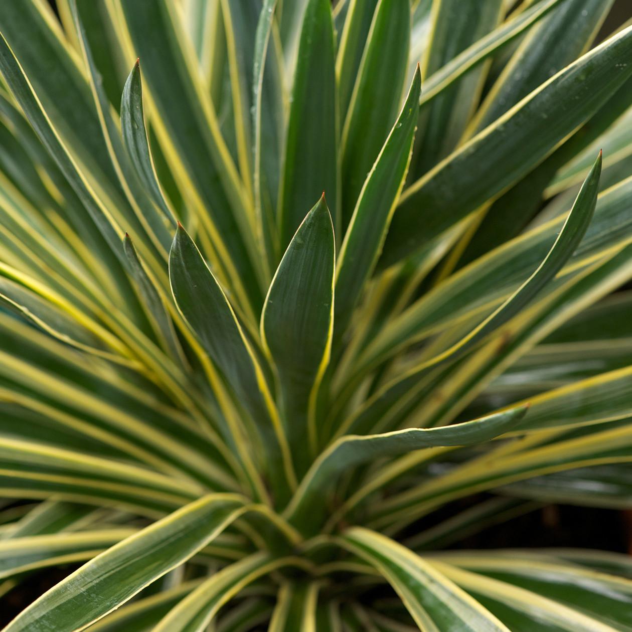 yucca gloriosa variegata 1l evergreens turn it tropical. Black Bedroom Furniture Sets. Home Design Ideas