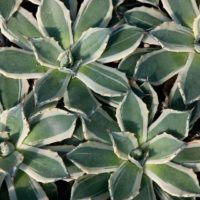 agave parryi cream spike
