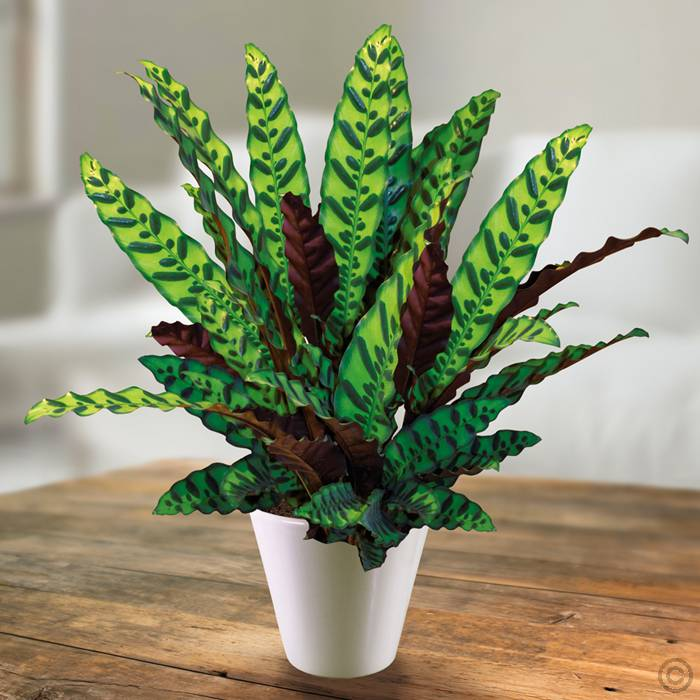 calathea lancifolia 1l evergreens turn it tropical. Black Bedroom Furniture Sets. Home Design Ideas