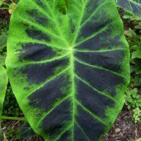 Colocasia antiquorum Illustris