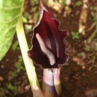 Sauromatum giganteum