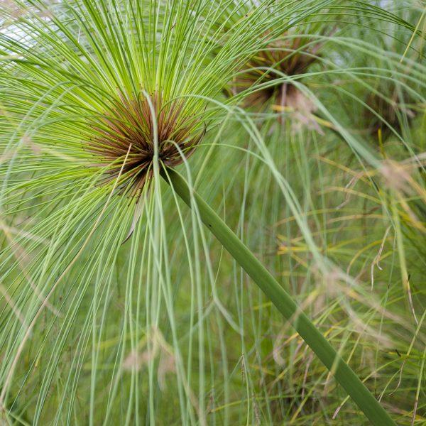 cyperus papyrus 1l evergreens turn it tropical. Black Bedroom Furniture Sets. Home Design Ideas