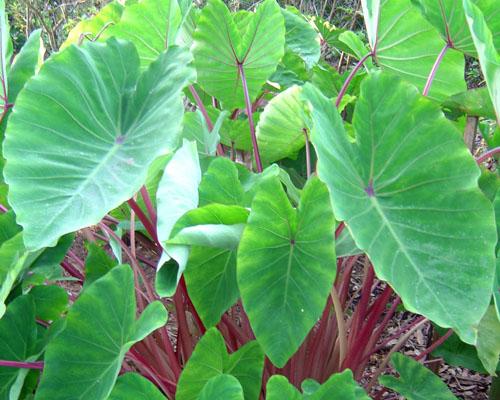 colocasia esculenta General information about colocasia esculenta (cxses) name authority caladium esculenta (linnaeus) ventenat: colocasia antiquorum var esculenta.