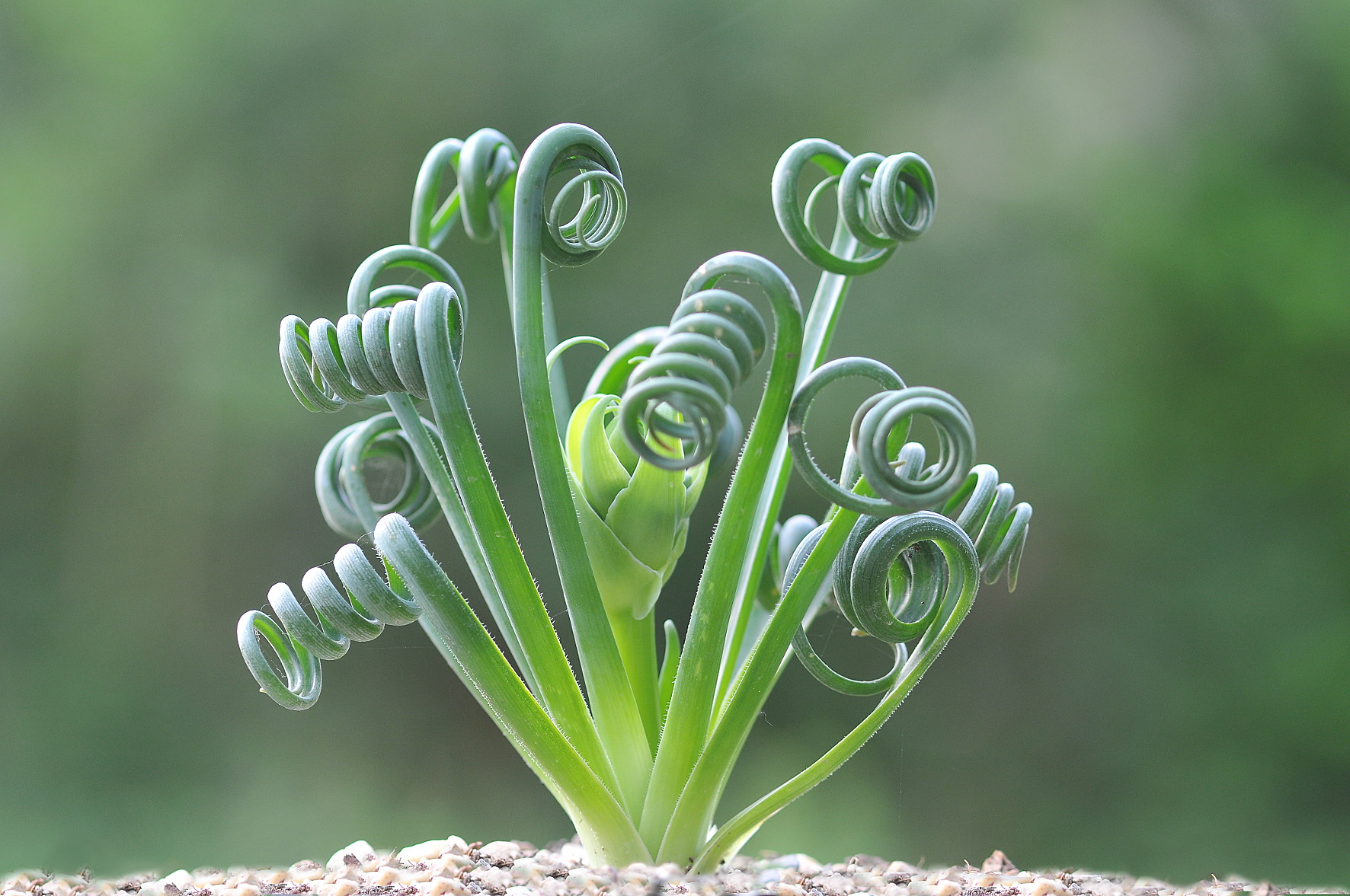 Albuca Spiralis 9cm Evergreens Turn It Tropical