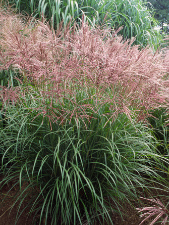 miscanthus sinensis ferner osten 2l evergreens turn. Black Bedroom Furniture Sets. Home Design Ideas