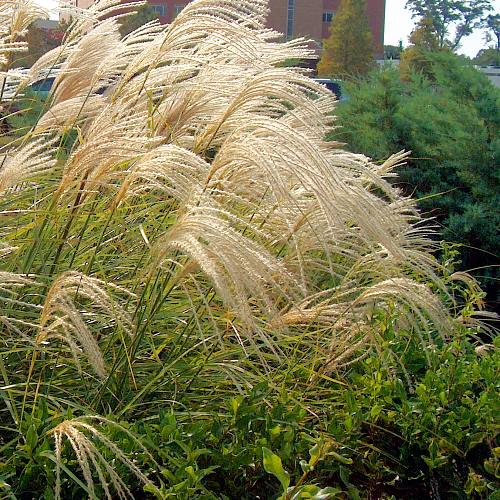 miscanthus sinensis gracillimus 2l evergreens turn it tropical. Black Bedroom Furniture Sets. Home Design Ideas