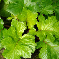 acanthus-mollis-hollards-gold