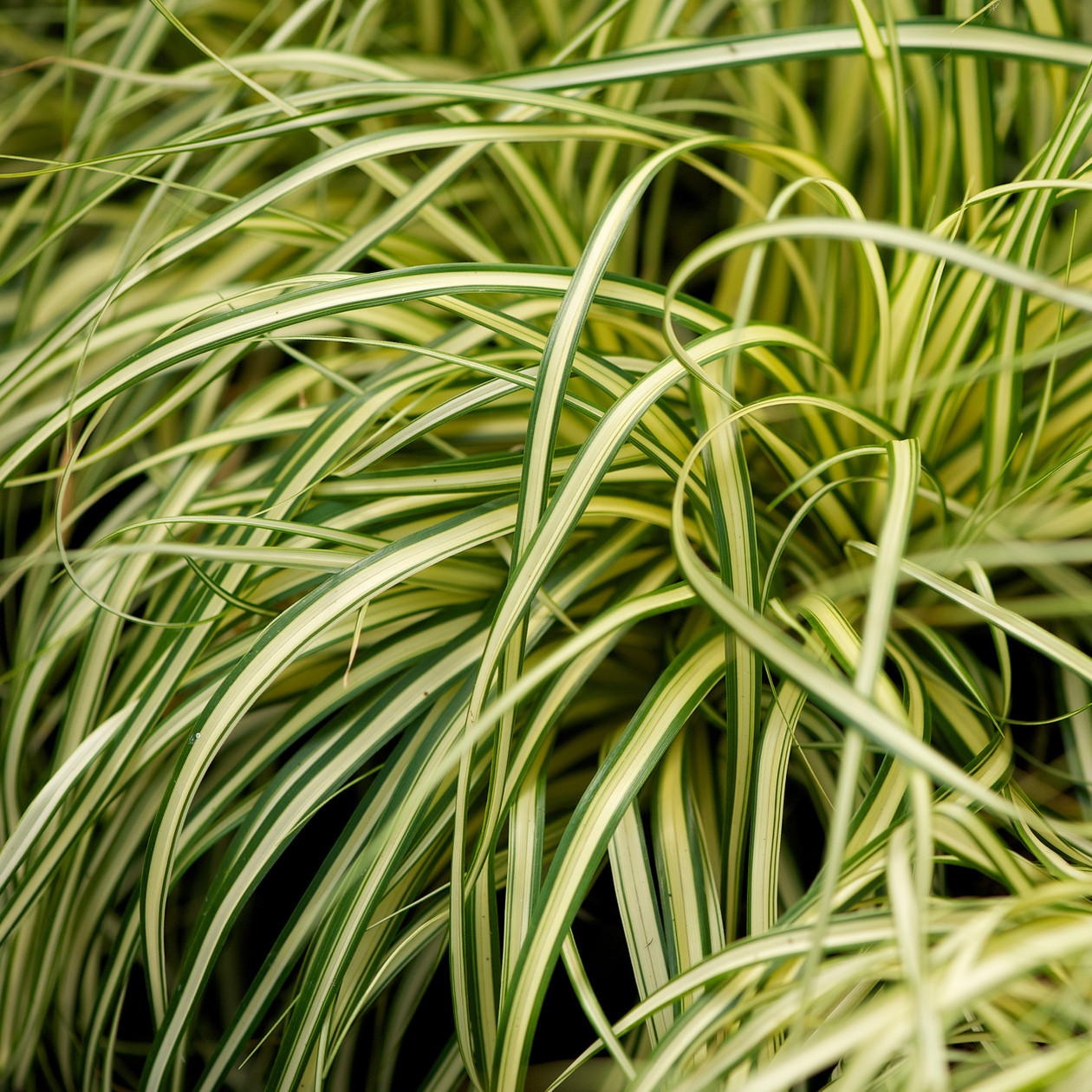 Carex oshimensis evergold 2l evergreens turn it tropical - Cadre x ...