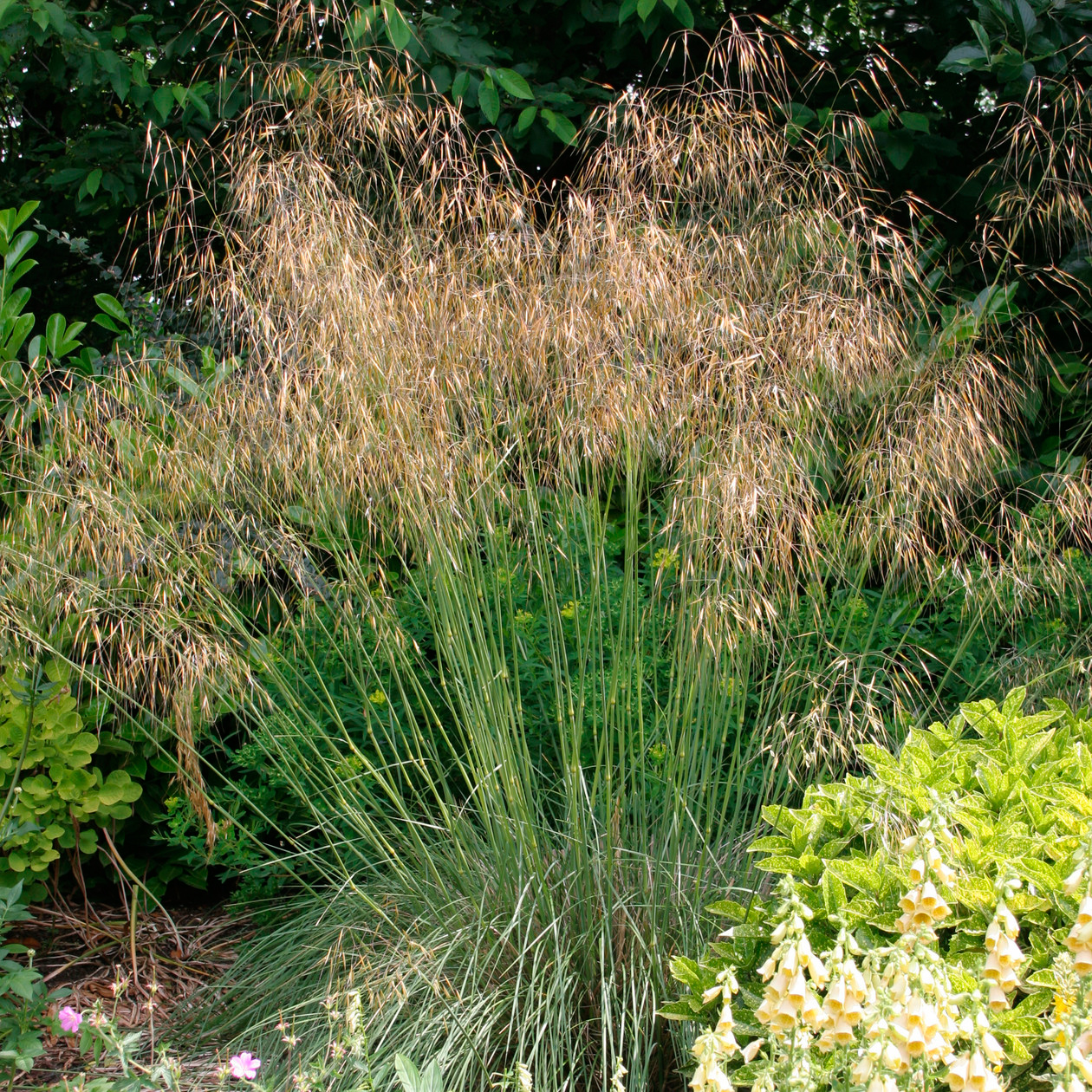 Stipa gigantea 2l evergreens turn it tropical for Giant ornamental grass