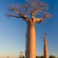 Baobabs from Madagascar