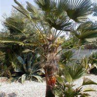trachycarpus-takaghii