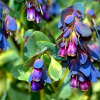 cerinthe_major_purpurascens