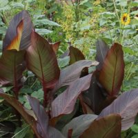 canna generalis russian red