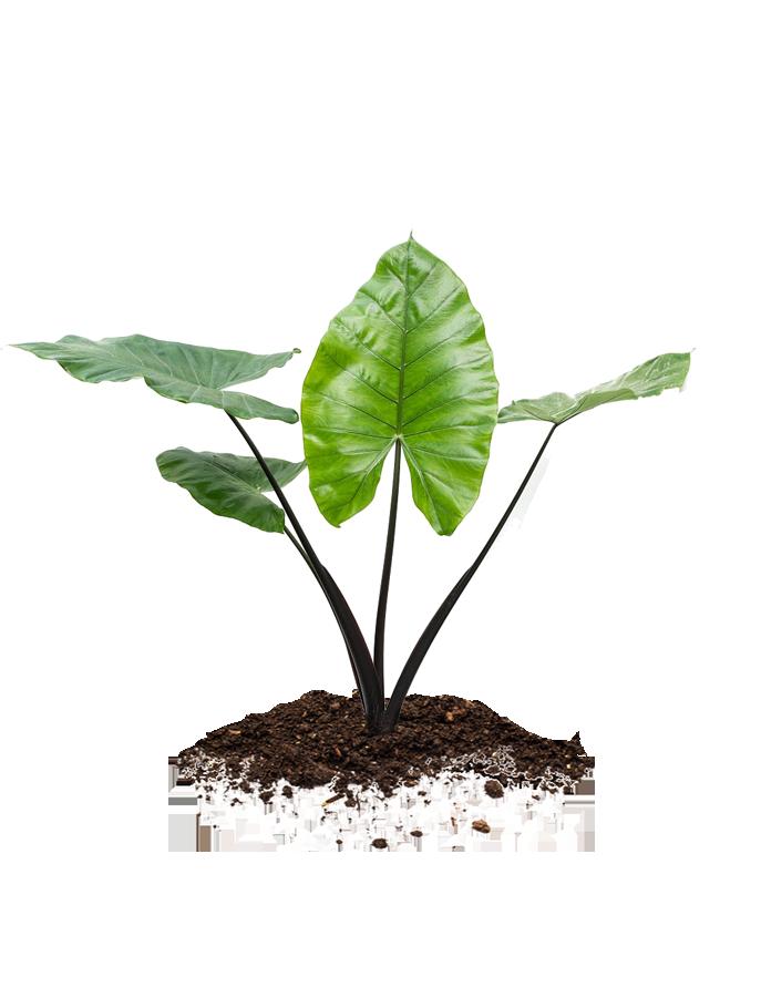 Alocasia plant for sale