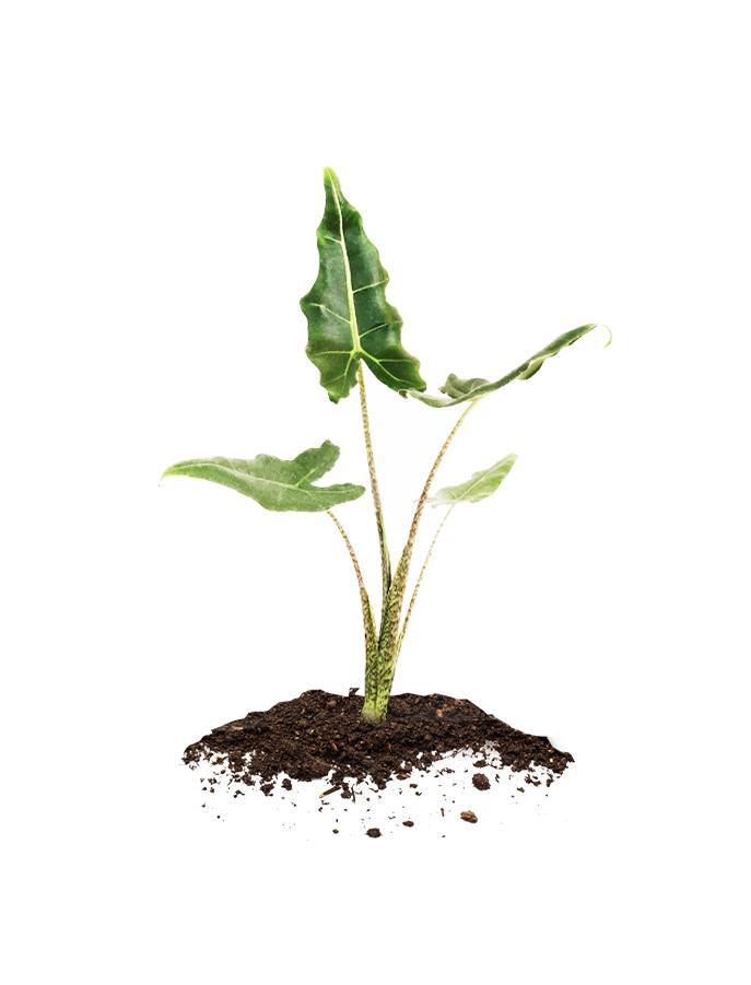 Aroids plants for sale